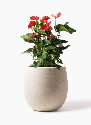 観葉植物 アンスリウム 8号 ダコタ テラニアス バルーン アンティークホワイト 付き