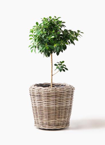 観葉植物 フィカス ナナ 7号 ノーマル モンデリック ラタン 付き