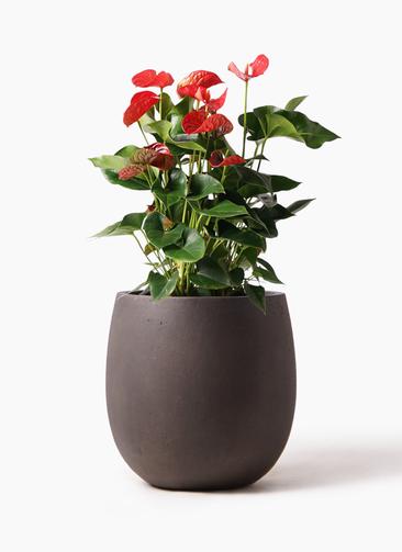観葉植物 アンスリウム 8号 ダコタ テラニアス バルーン アンティークブラウン 付き