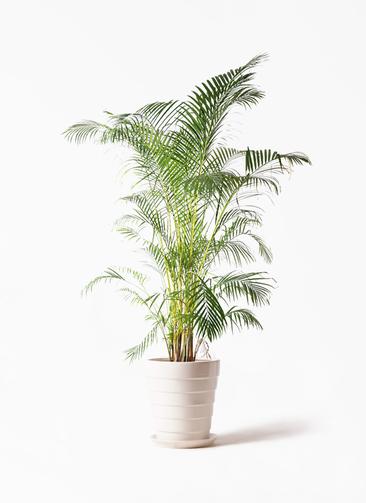 観葉植物 アレカヤシ 10号 サバトリア 白 付き