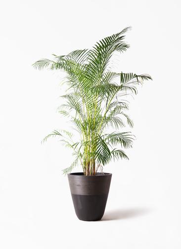 観葉植物 アレカヤシ 10号 ジュピター 黒 付き