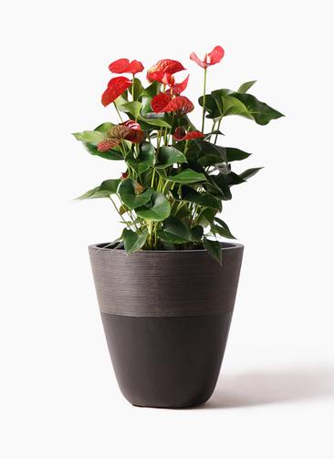 観葉植物 アンスリウム 8号 ダコタ ジュピター 黒 付き