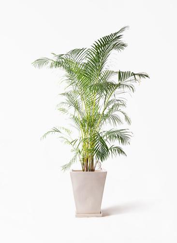 観葉植物 アレカヤシ 10号 スクエアハット 白 付き