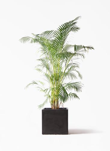 観葉植物 アレカヤシ 10号 ファイバークレイ キューブ 付き