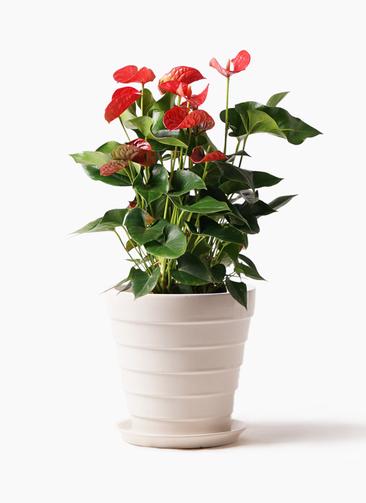 観葉植物 アンスリウム 8号 ダコタ サバトリア 白 付き