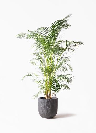 観葉植物 アレカヤシ 10号 カルディナダークグレイ 付き