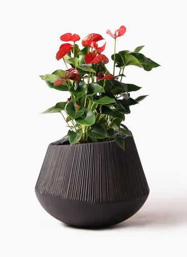 観葉植物 アンスリウム 8号 ダコタ エディラウンド 黒 付き