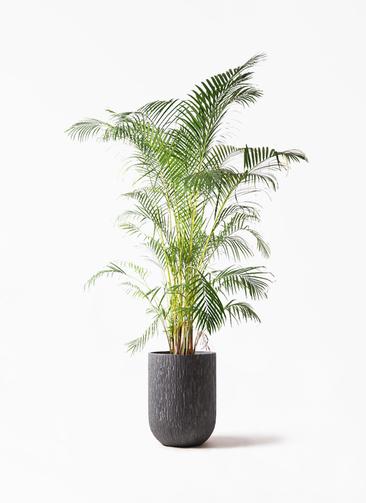 観葉植物 アレカヤシ 10号 カルディナトールダークグレイ 付き