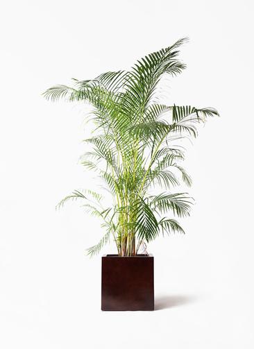 観葉植物 アレカヤシ 10号 MOKU キューブ 付き