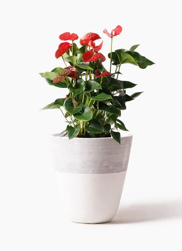 観葉植物 アンスリウム 8号 ダコタ ジュピター 白 付き