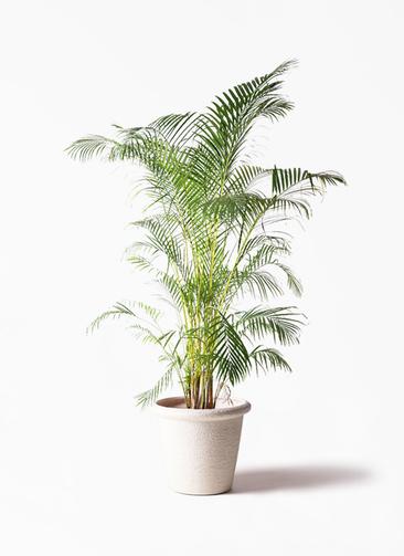 観葉植物 アレカヤシ 10号 ビアスリムス 白 付き
