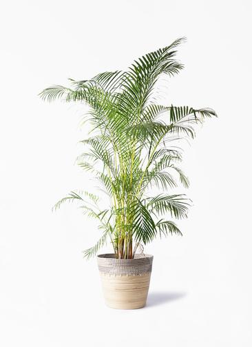 観葉植物 アレカヤシ 10号 アルマ コニック 白 付き