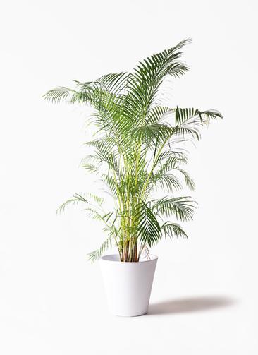 観葉植物 アレカヤシ 10号 フォリオソリッド 白 付き