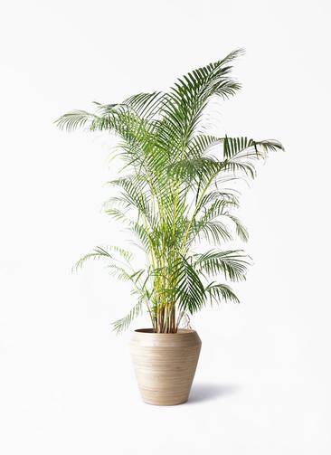 観葉植物 アレカヤシ 10号 アルマ ミドル 付き