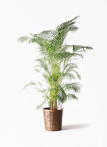 観葉植物 アレカヤシ 10号 竹バスケット 付き