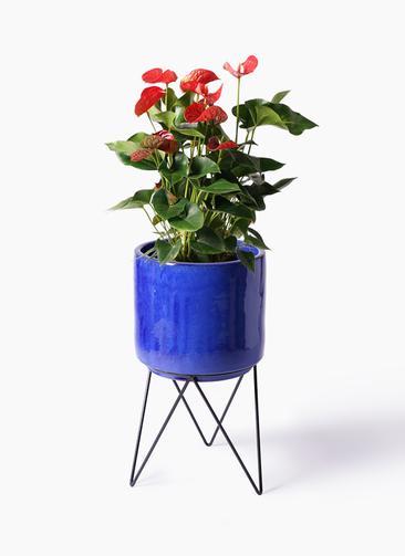 観葉植物 アンスリウム 8号 ダコタ ビトロ エンデカ 鉢カバースタンド付 ブルー 付き