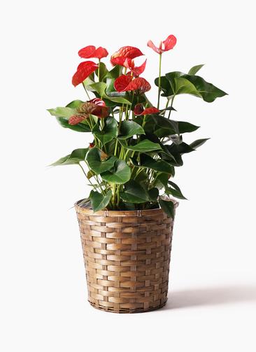 観葉植物 アンスリウム 8号 ダコタ 竹バスケット 付き