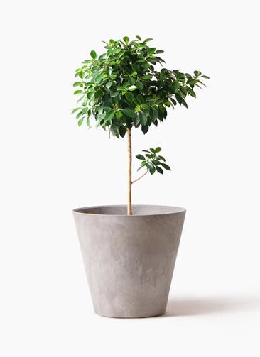 観葉植物 フィカス ナナ 7号 ノーマル アートストーン ラウンド グレー 付き