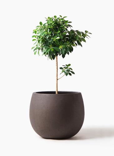 観葉植物 フィカス ナナ 7号 ノーマル テラニアス ローバルーン アンティークブラウン 付き