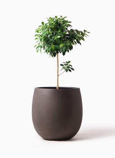 観葉植物 フィカス ナナ 7号 ノーマル テラニアス バルーン アンティークブラウン 付き