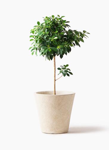 観葉植物 フィカス ナナ 7号 ノーマル フォリオソリッド クリーム 付き