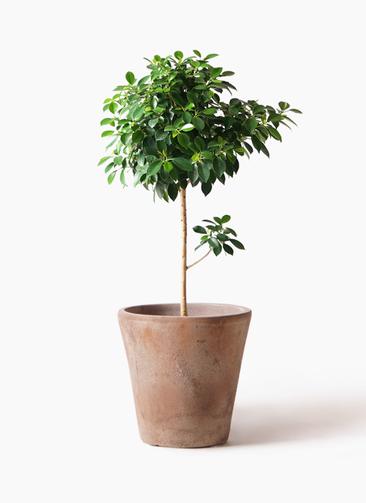 観葉植物 フィカス ナナ 7号 ノーマル ルーガ アンティコ ソリッド 付き