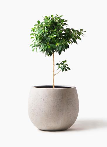観葉植物 フィカス ナナ 7号 ノーマル テラニアス ローバルーン アンティークホワイト 付き