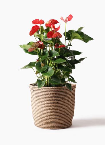 観葉植物 アンスリウム 8号 ダコタ リブバスケットNatural 付き