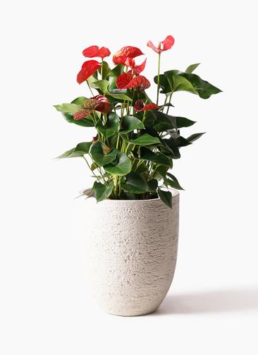 観葉植物 アンスリウム 8号 ダコタ ビアスアルトエッグ 白 付き