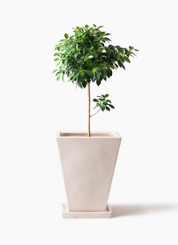 観葉植物 フィカス ナナ 7号 ノーマル スクエアハット 白 付き