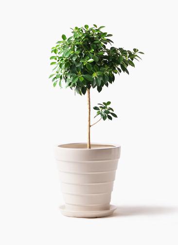 観葉植物 フィカス ナナ 7号 ノーマル サバトリア 白 付き