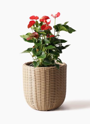 観葉植物 アンスリウム 8号 ダコタ ウィッカーポットエッグ ベージュ 付き