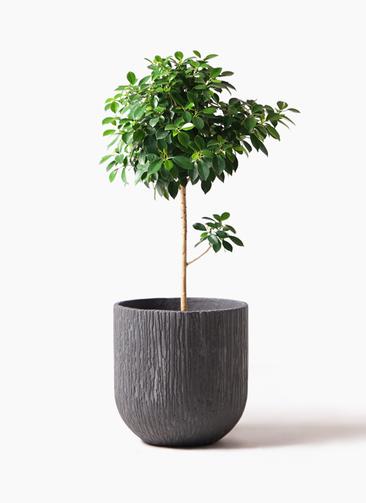 観葉植物 フィカス ナナ 7号 ノーマル カルディナダークグレイ 付き