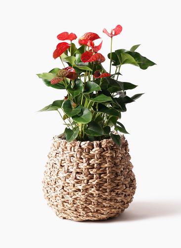 観葉植物 アンスリウム 8号 ダコタ ラッシュバスケット Natural 付き