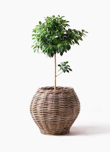 観葉植物 フィカス ナナ 7号 ノーマル グレイラタン 付き