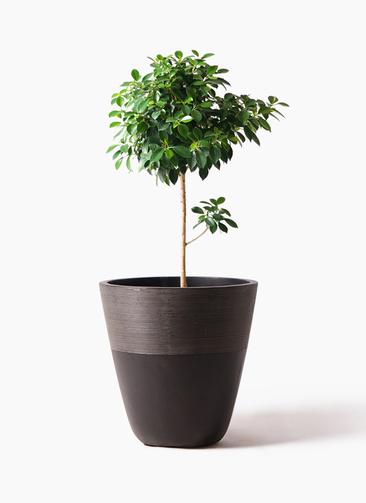 観葉植物 フィカス ナナ 7号 ノーマル ジュピター 黒 付き