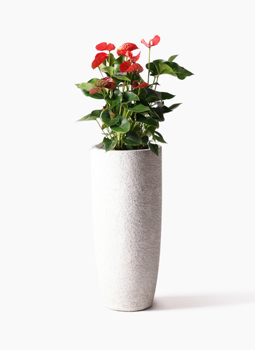 観葉植物 アンスリウム 8号 ダコタ エコストーントールタイプ white 付き