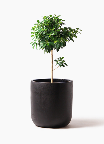 観葉植物 フィカス ナナ 7号 ノーマル エルバ 黒 付き