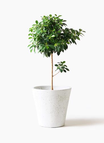 観葉植物 フィカス ナナ 7号 ノーマル フォリオソリッド 白 付き