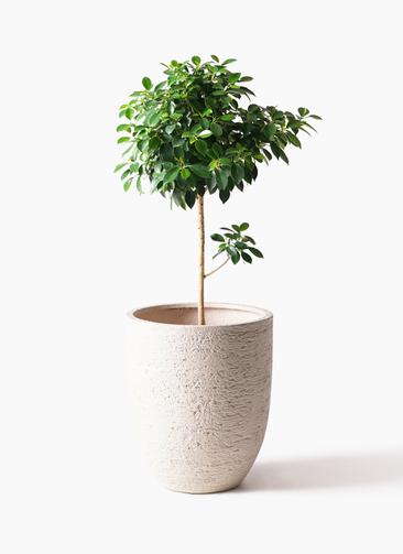 観葉植物 フィカス ナナ 7号 ノーマル ビアスアルトエッグ 白 付き