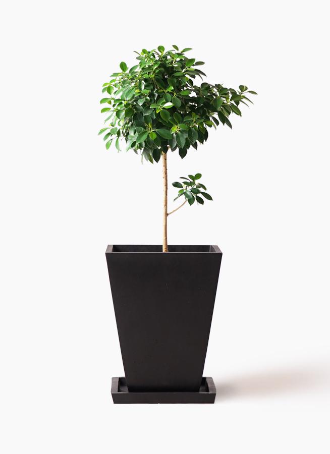 観葉植物 フィカス ナナ 7号 ノーマル パウダーストーン 黒 付き