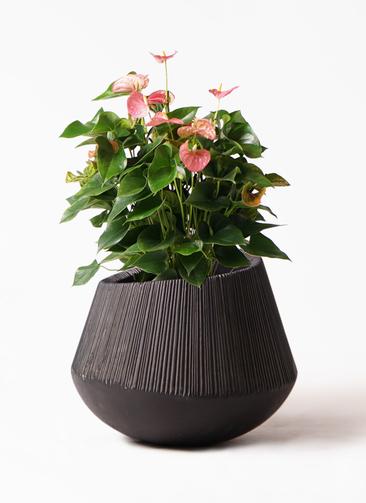観葉植物 アンスリウム 8号 ピンクチャンピオン エディラウンド 黒 付き