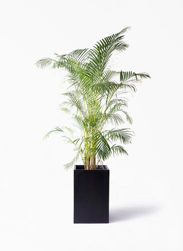 観葉植物 アレカヤシ 10号 セドナロング 墨 付き