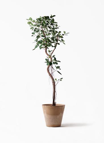 観葉植物 フィカス ジャンボリーフ 10号 アートストーン ラウンド ベージュ 付き