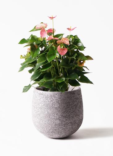 観葉植物 アンスリウム 8号 ピンクチャンピオン エコストーンGray 付き