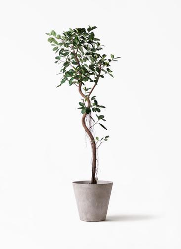 観葉植物 フィカス ジャンボリーフ 10号 アートストーン ラウンド グレー 付き