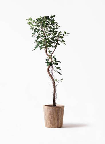 観葉植物 フィカス ジャンボリーフ 10号 ウッドプランター 付き