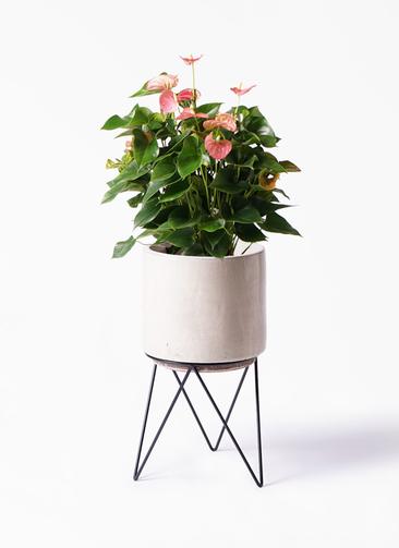 観葉植物 アンスリウム 8号 ピンクチャンピオン ビトロ エンデカ 鉢カバースタンド付 クリーム 付き