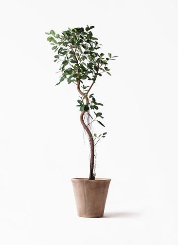 観葉植物 フィカス ジャンボリーフ 10号 ルーガ アンティコ ソリッド 付き