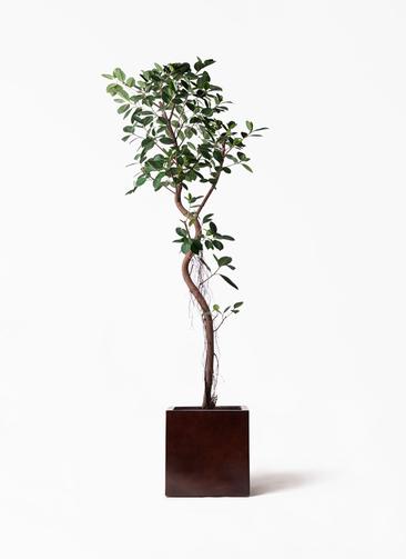 観葉植物 フィカス ジャンボリーフ 10号 MOKU キューブ 付き